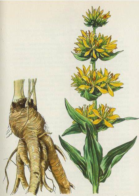 Herbár bylinkáreň popis rastlín