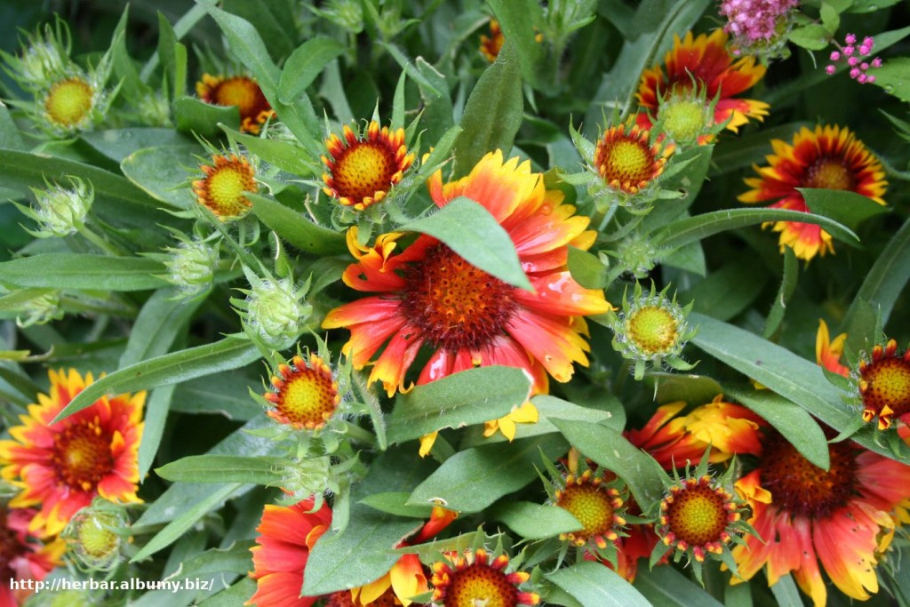 Kokarda-Gaillardia aristata kvet podobný Echinacei
