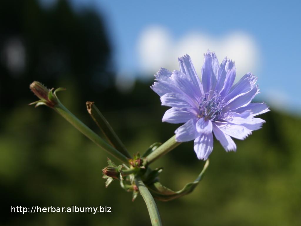 Čakanka obyčajná (Cichorium intybus) – kvet