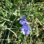 Čakanka obyčajná - celá rastlina