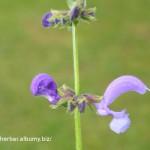 Šalvia lúčna - Salvia pratensis - detail kvetu