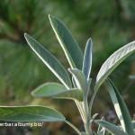 Šalvia lekárska - Salvia officinalis - mladé lístky