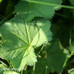Alchemilka obyčajná-Alchemilla vulgaris -detail listu