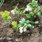 Brusnica obyčajná = pravá-brusnica -Vaccinium vitis-idaea kvitnúca