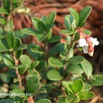 Pravá-brusnica -Vaccinium vitis - kvitnúca