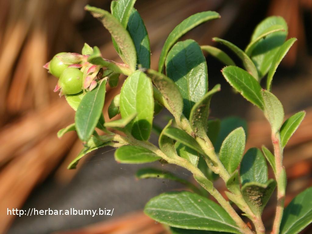 Brusnica obyčajná = pravá -Vaccinium vitis- zelený plod