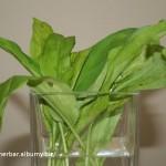 Cesnak medvedí (Allium ursinum) natrhané listy