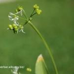 Cesnak medvedí (Allium ursinum) odkvitnutá, semienka