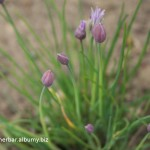 Pažítka-Allium schoenoprasum - trs rastlín