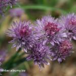 Cesnak pažítkový kvety