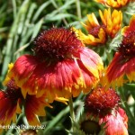 Echinacea -Echinacea