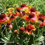 Echinacea - farebná varianta ako korkada