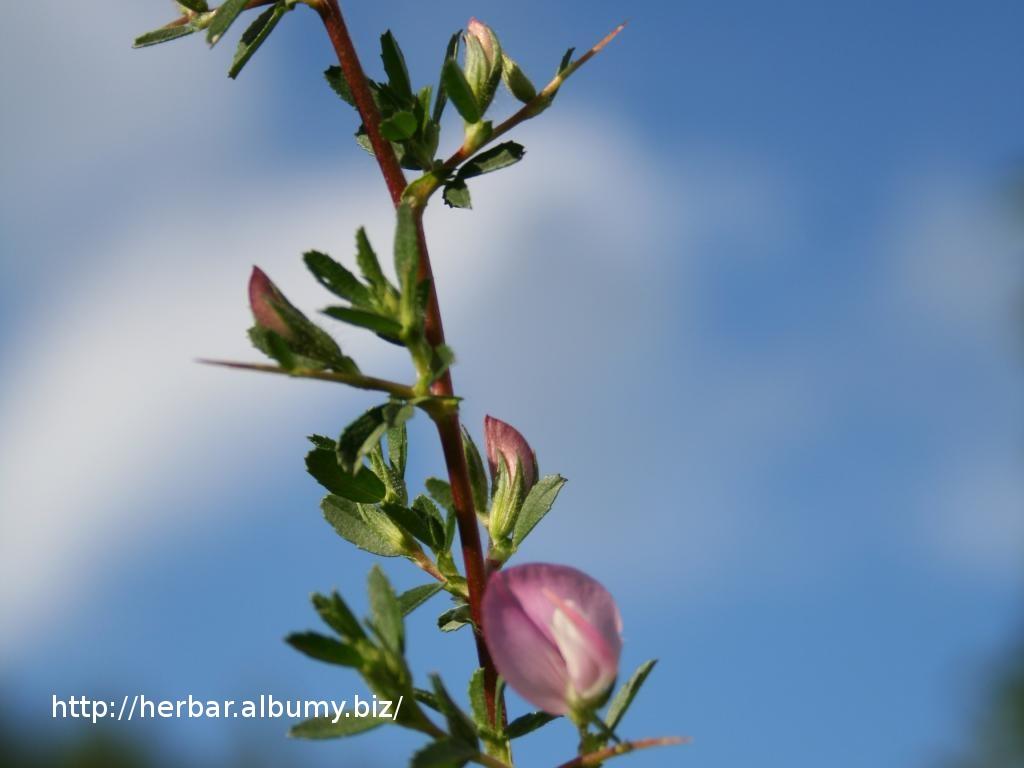 Ihlica tŕnistá-Ononis spinosa-IMG_2451