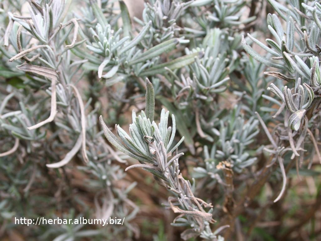 Levanduľa úzkolistá-obyčajná-Lavandula angustifolia-IMG_0496
