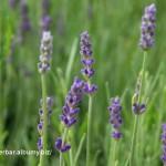 Levanduľa úzkolistá-obyčajná-Lavandula angustifolia-IMG_2222