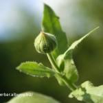 Nechtík lekársky - Calendula officinalis - puk