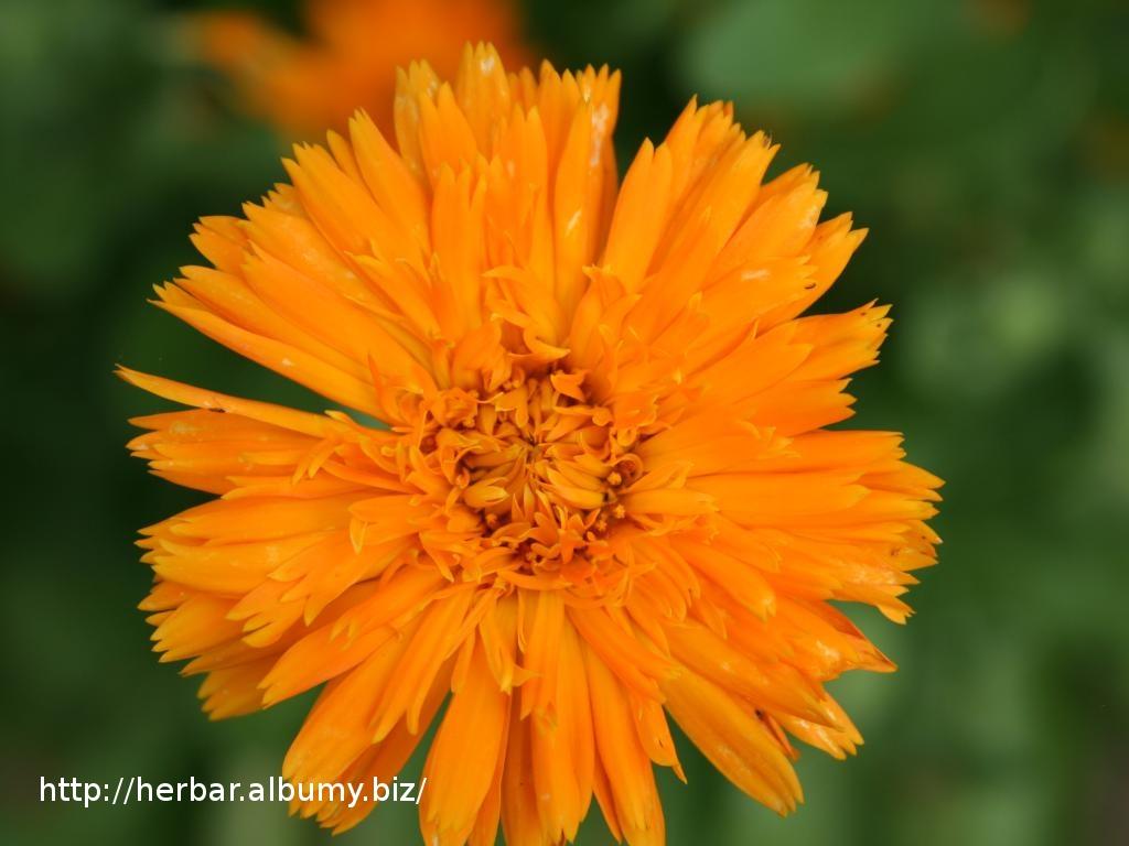 Nechtík lekársky - Calendula officinalis - detail kvetu