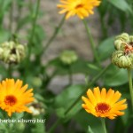 Nechtík lekársky - Calendula officinalis - kvety aj plody