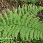 Papraď samčia-Dryopteris fylix-mas-IMG_1447