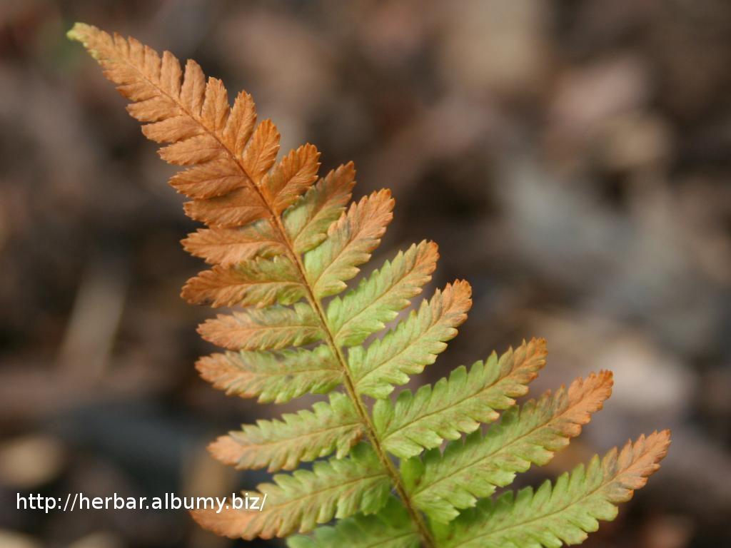 Papraď samčia-Dryopteris fylix-mas-IMG_3726