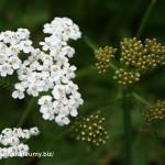 Rebríček obyčajný(myší chvost)-Achillea millefolium-IMG_1473