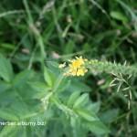 Repík lekársky-Agrimonia eupatoria-IMG_2406