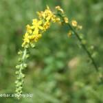 Repík lekársky-Agrimonia eupatoria-IMG_2647