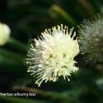Cesnak cibuľový (cibuľa) Allium ceppa - detail kvetu